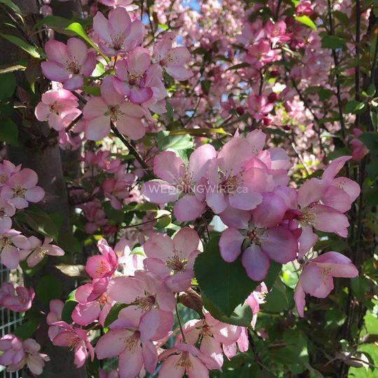 """Cherries in bloom """"The Jewel"""""""