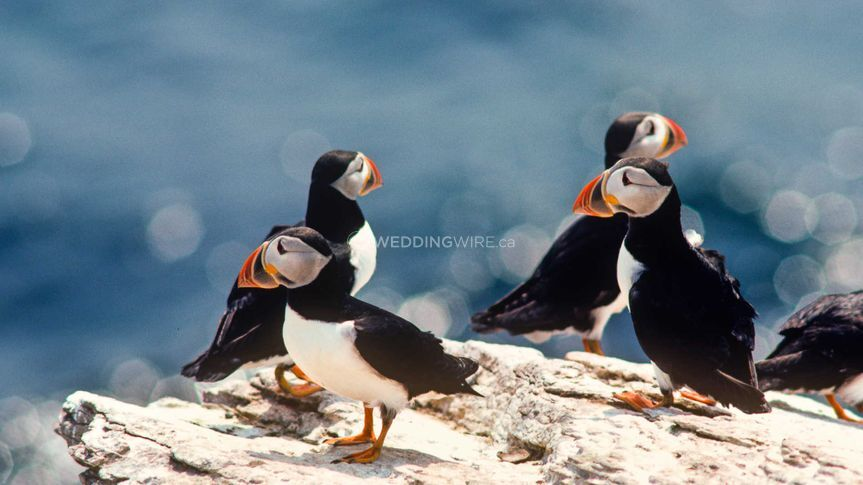 Playful Puffins