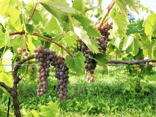 Holland Marsh Wineries 3