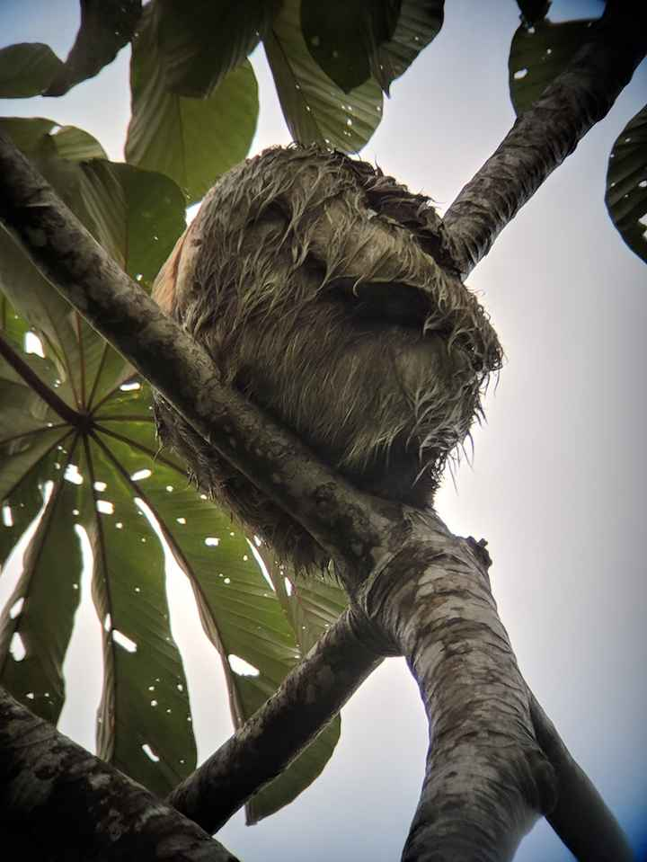 A very wet and sleepy sloth
